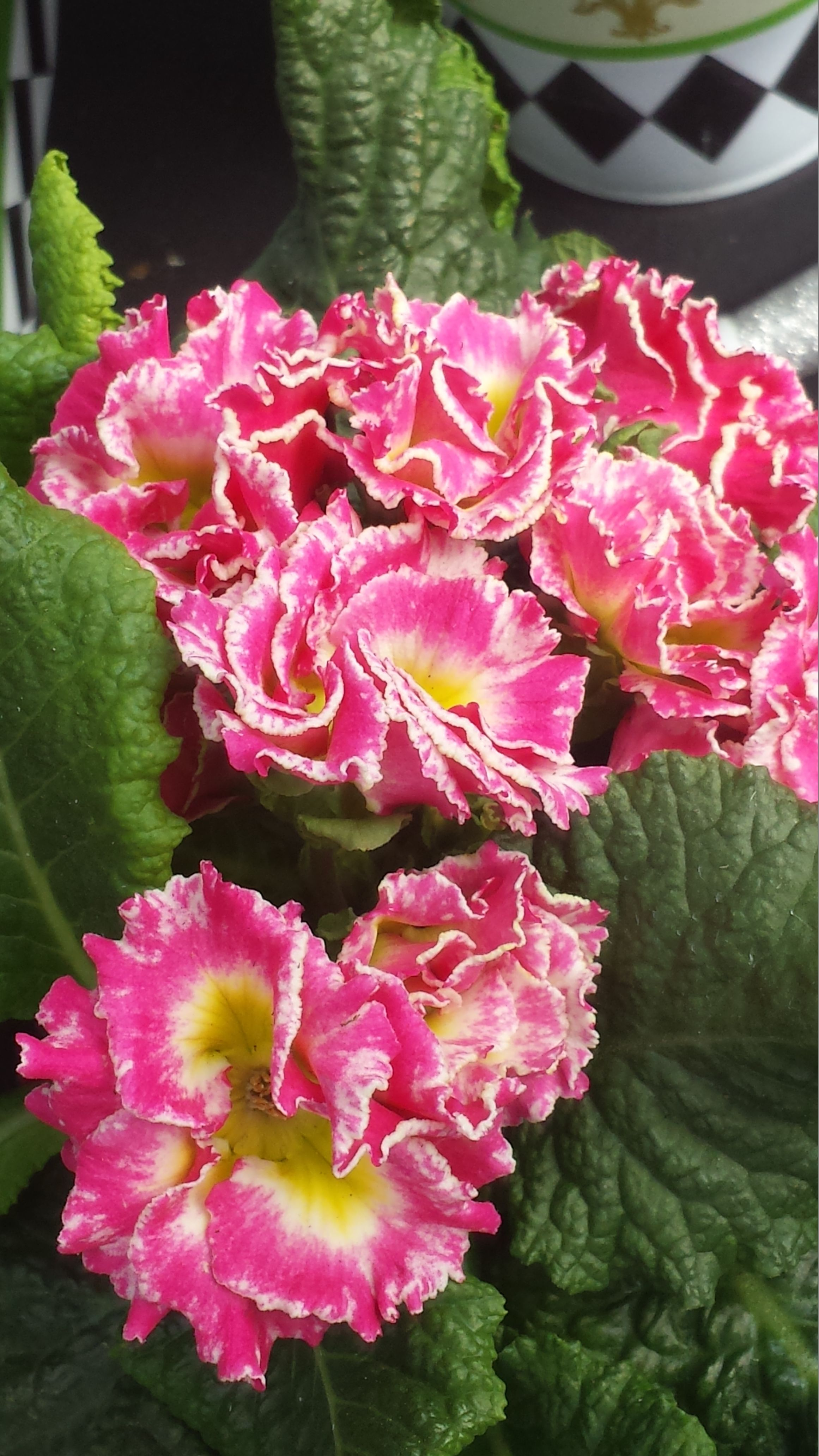 This Is A New Plant Called The Pink Lady Flowers Pinterest