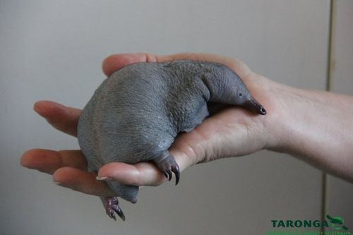 A chubby echidna resting in a human hand.