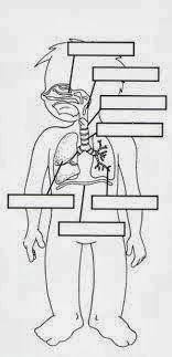 IMÁGENES FICHAS Órganos del aparato respiratorio La respiración ...