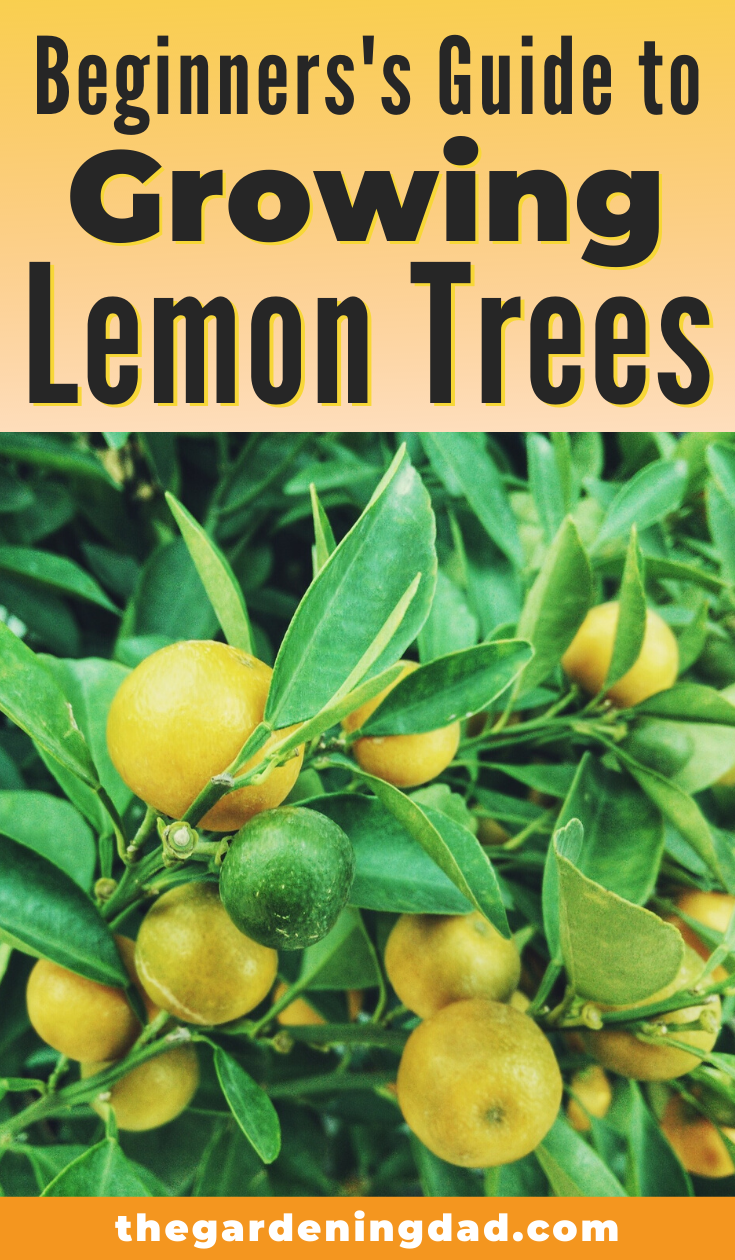 How To Grow Lemon Trees In Pots 18 Proven Tips The Gardening Dad Growing Lemon Trees How To Grow Lemon Potted Trees