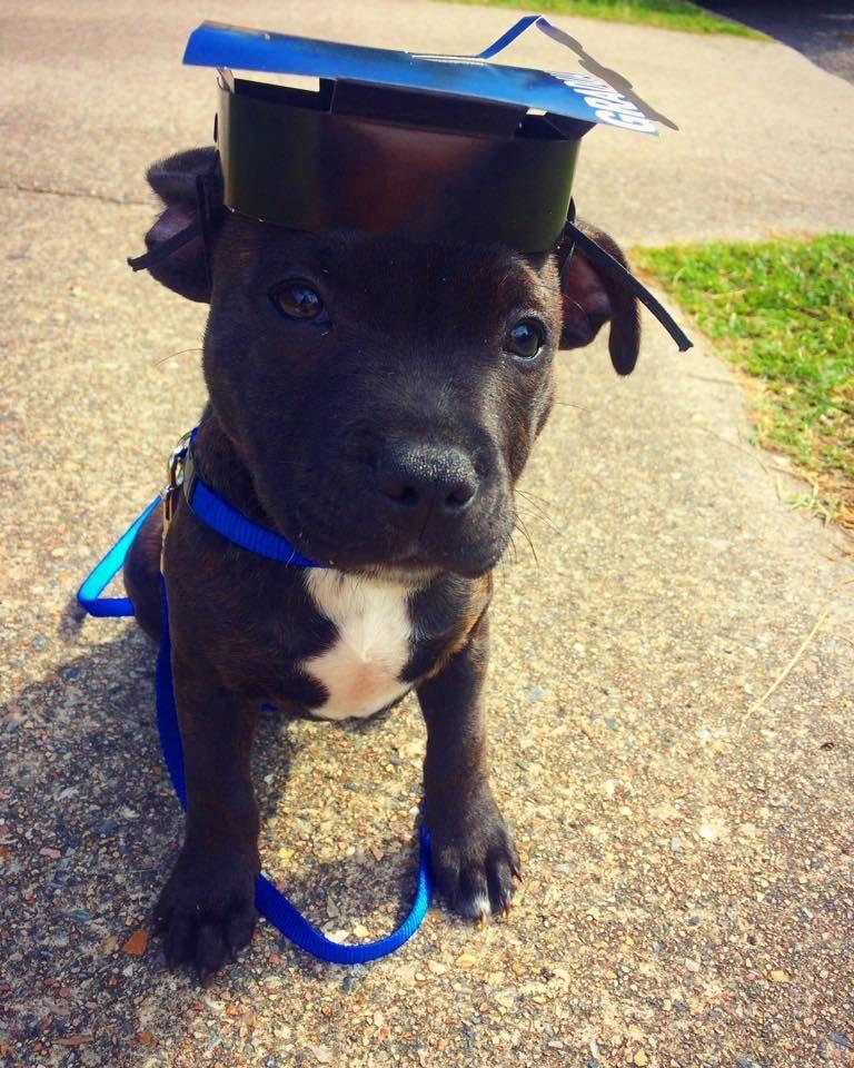 Our 11 Week Old English Staffy Gimli Just Graduated Puppy School