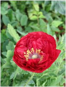 Creative Country Mom's Garden: Growing Poppies