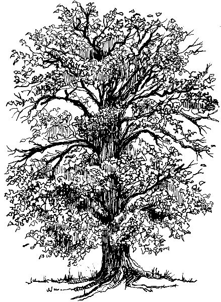 free oak tree coloring pages - photo#29