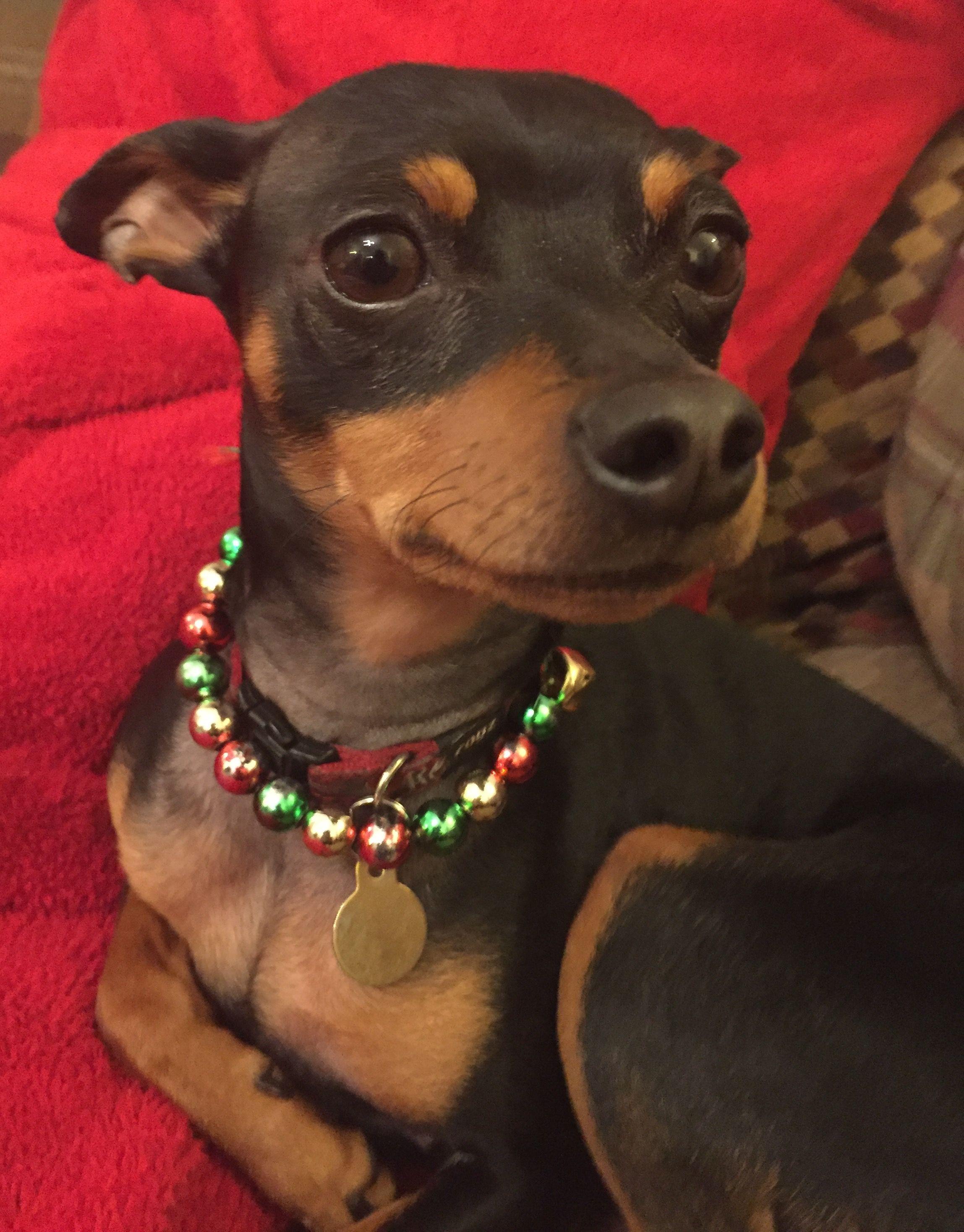 Jingle Balls Mini Pinscher Miniature Pinscher Cute Little Dogs