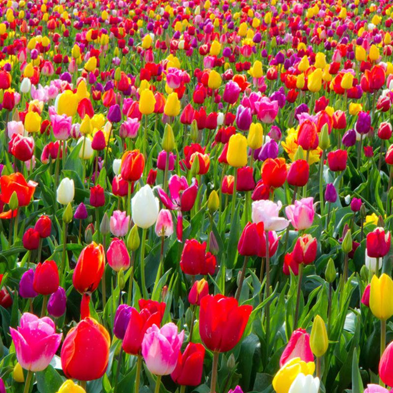 Mixed Tulips Beautiful Flowers Garden Layout Vegetable Bulbs And Seeds