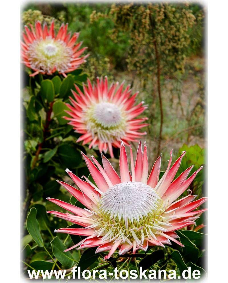 Protea Cynaroides Konigs Protea Protee Silberbaum Zuckerbusch Flora Toskana Pflanzen Flora Protea