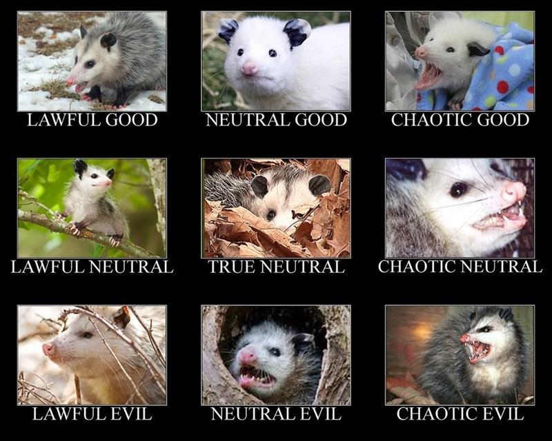 Pin On Animals Opossums