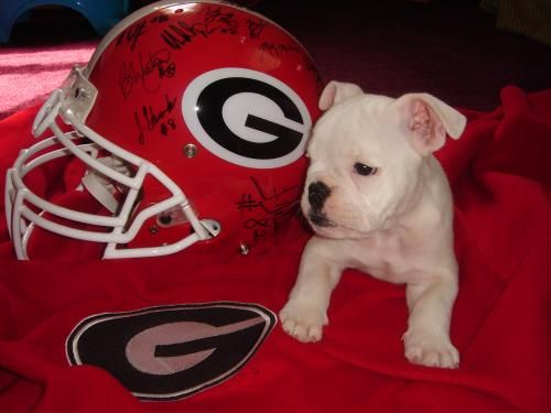 Little Bulldog In Training Georgia Bulldogs Football