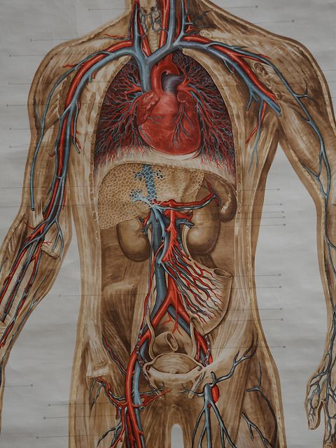Vintage anatomical chart of the body. created by: Adam, Rouilly & Co., Ltd  origin: London, UK