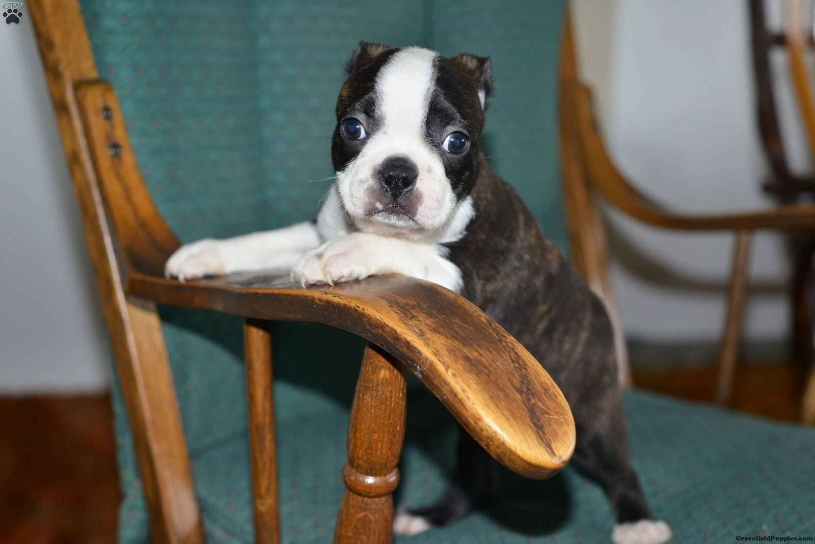 Cody Boston Terrier Puppy For Sale In Ohio Boston Terriers