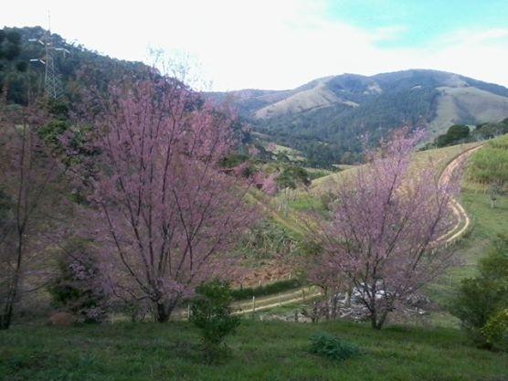 Cherry blossom - Santo Antonio do Pinhal  Brasil