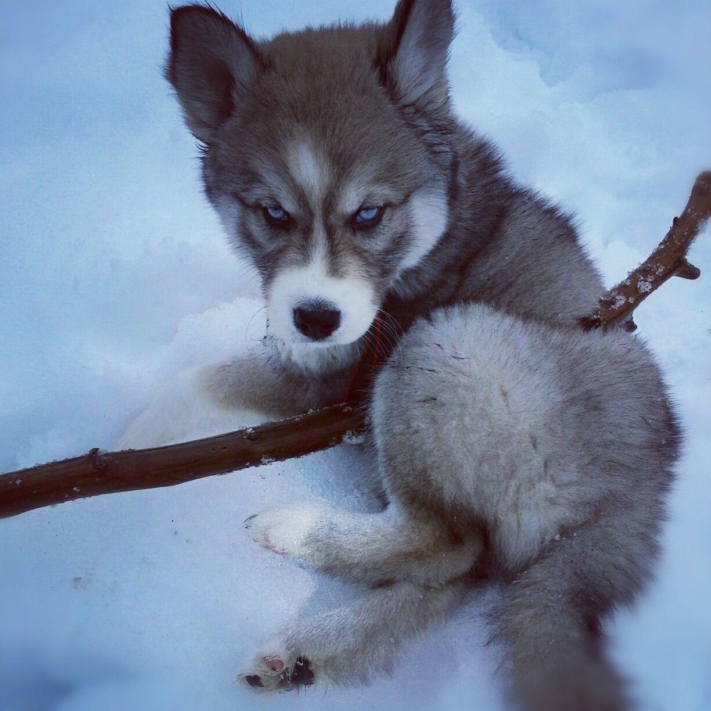 Husky Pup Animals Husky Puppy Husky