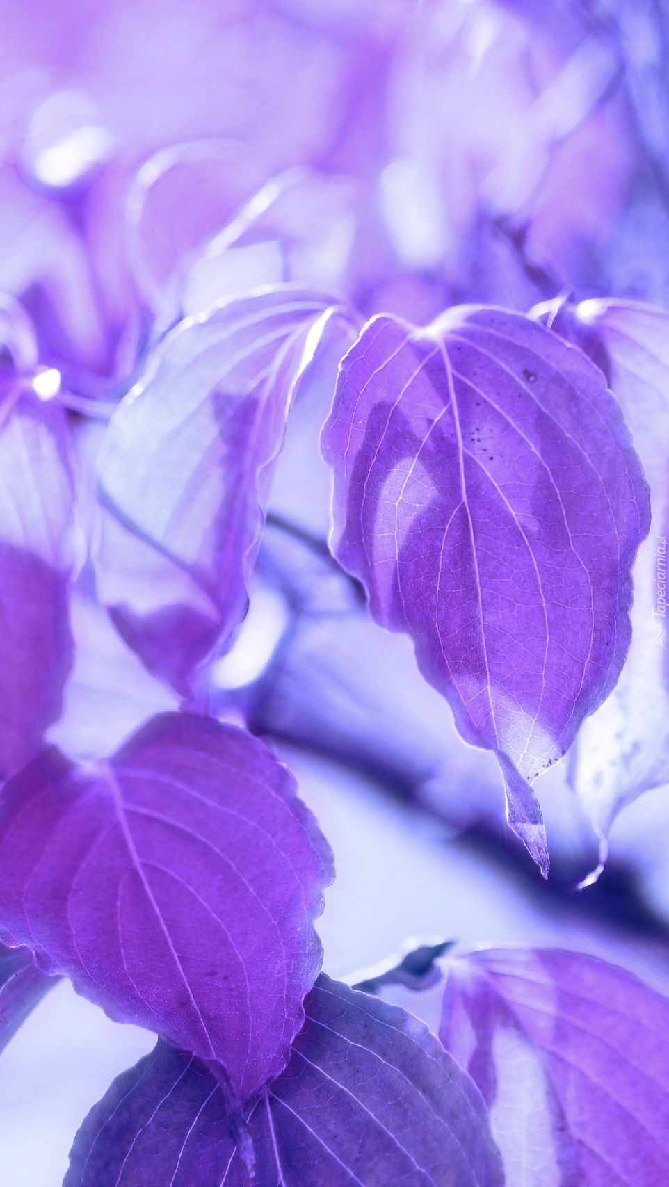 Fioletowe Liscie Black And Purple Wallpaper Purple Backgrounds Purple Wallpaper