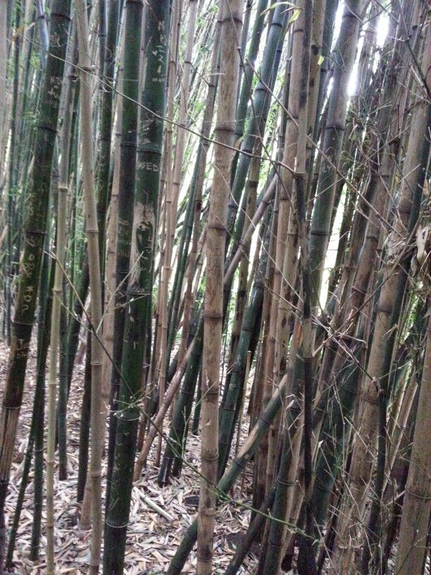 Bamboo in GG Park