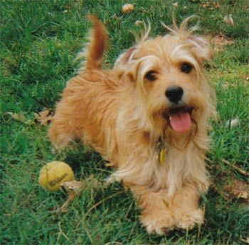 Norfolk Terrier Norfolk Terrier Norfolk Terrier Puppies Cute