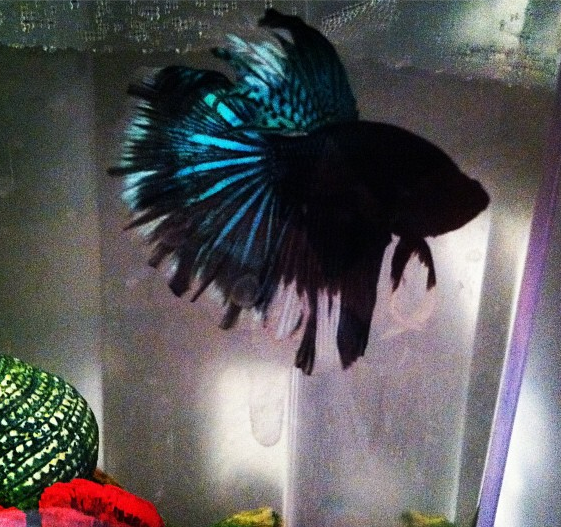 Piper for Cool betta fish names