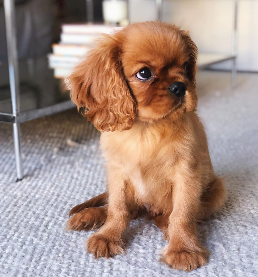 Benson Graham On Instagram Nothing Like A Baby Cavalier Face What A Doll Cavalier King Charles Dog Ruby Cavalier King Charles Spaniel Puppy Cavalier Puppy