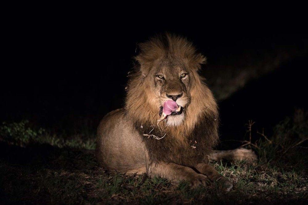 01Grant Rodewijk Lion01