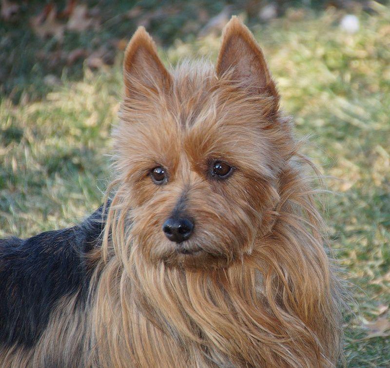 Dunham Lake Australian Terriers Australian Terrier Terrier