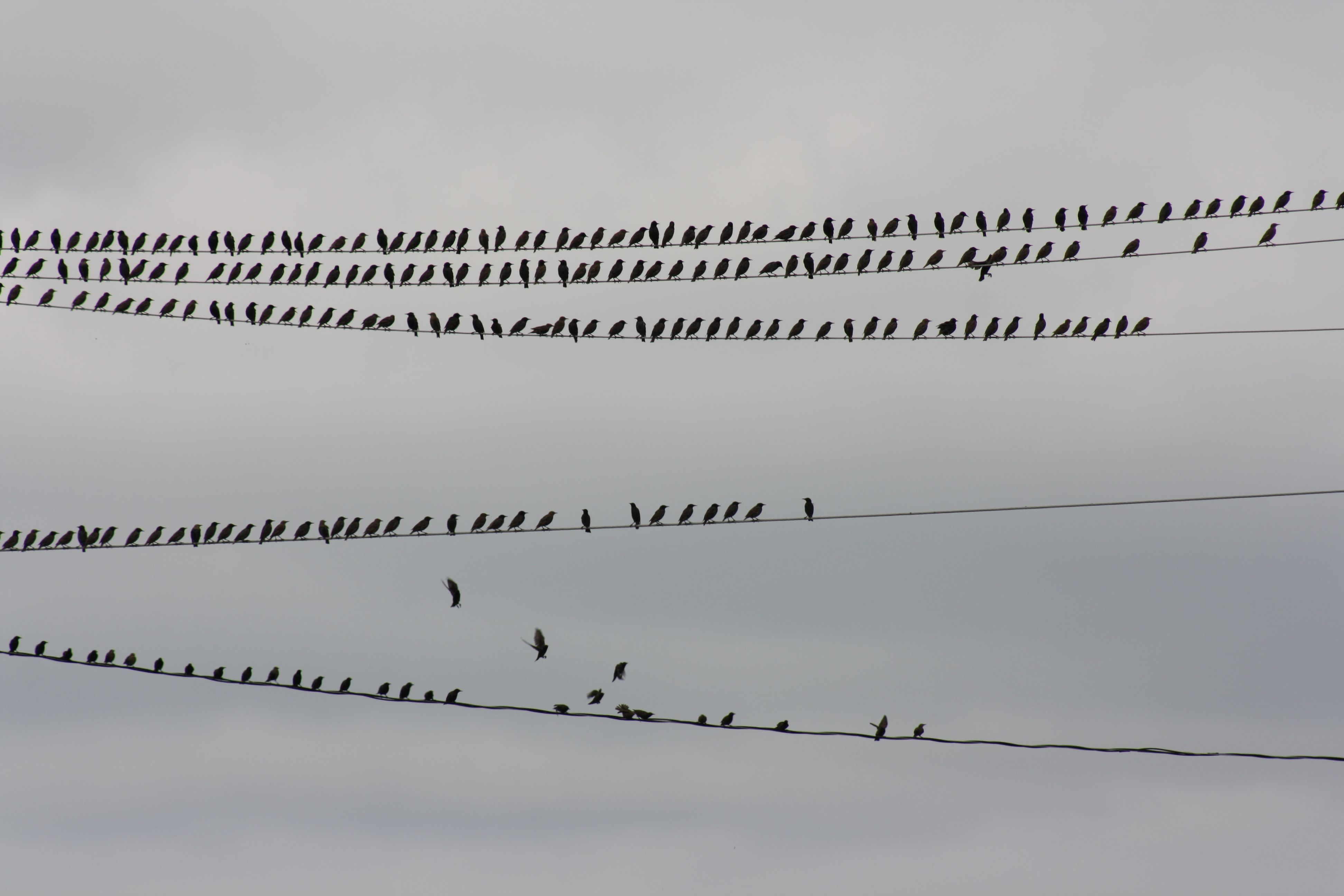Birds on a wire, Manitoulin Island | Birds and feathers | Pinterest ...