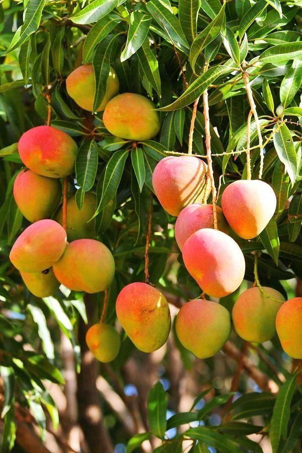 Glenn Mango Live Fresh Fruit Tree Fruit Trees In Containers Growing Fruit Trees Growing Fruit
