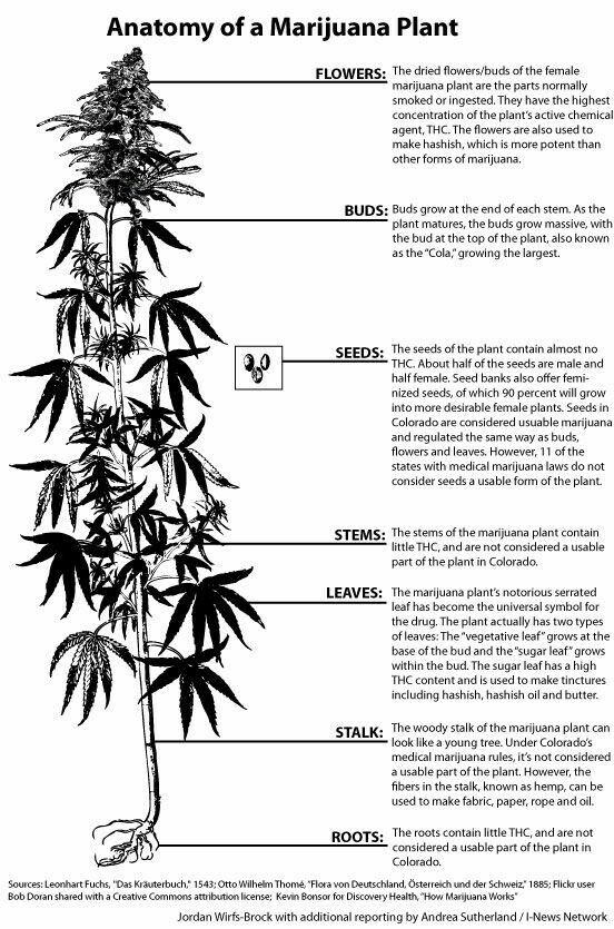 Anatomy of  marijuana plant cannabis diagram weed chart leaves stem seeds buds flowers roots also rh pinterest