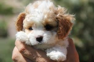 Image result for Teacup Cavachon Full-Grown | puppies