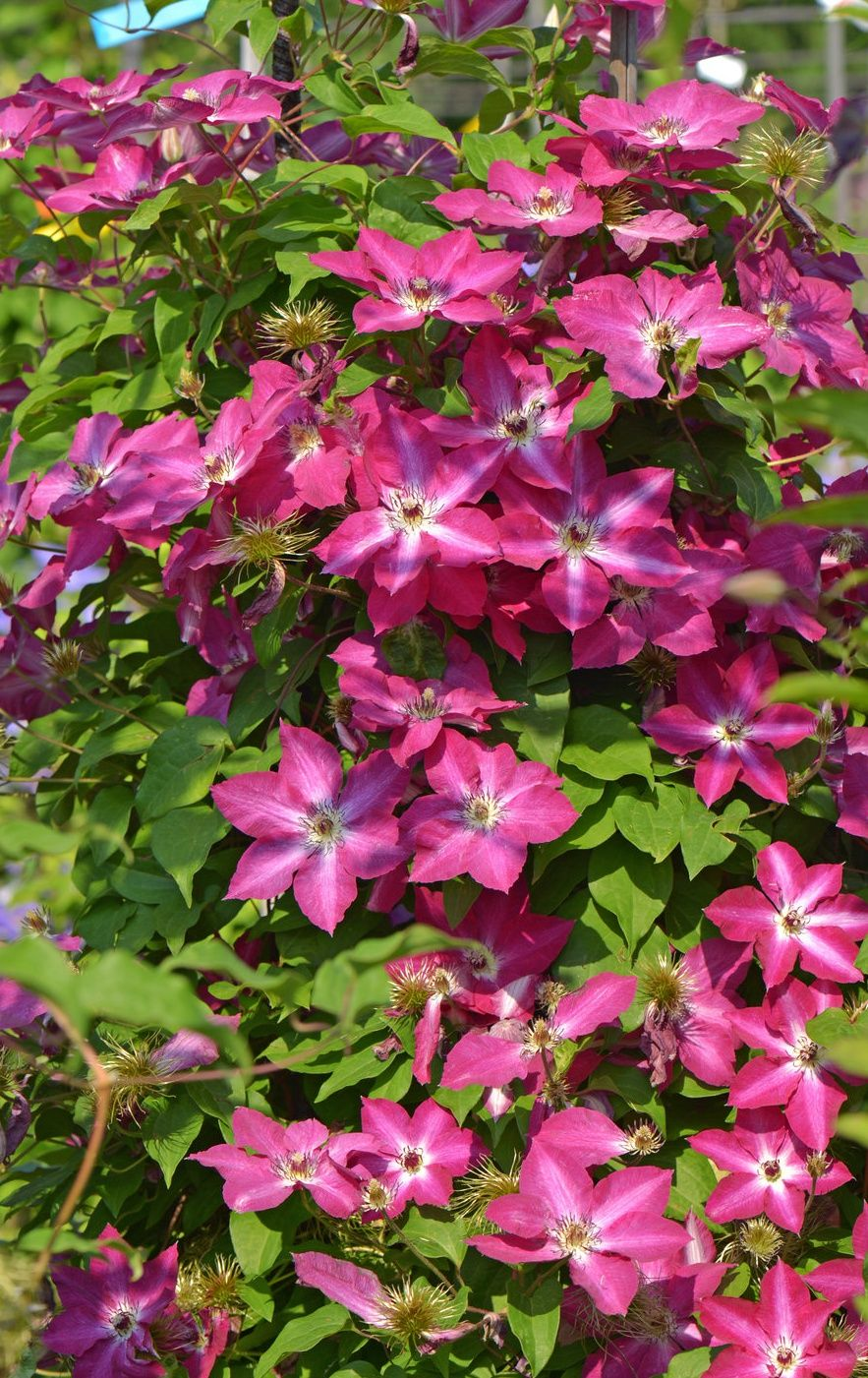 Add Star Power To Your Garden With Viva Polonia Clematis These Unusual Red Flowers Have A White Star Through The Cente Flowering Vines Clematis Garden Vines