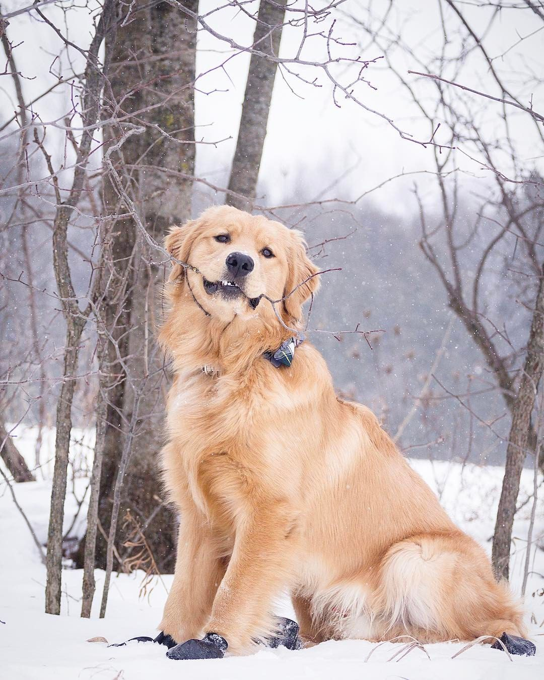 Golden Retriever Dog Breed Information Dog Activities Cute Dogs