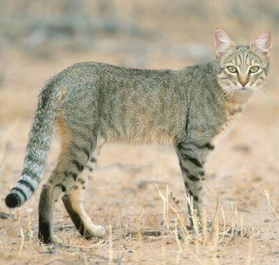Felis silvestris lybica | Gatti selvatici