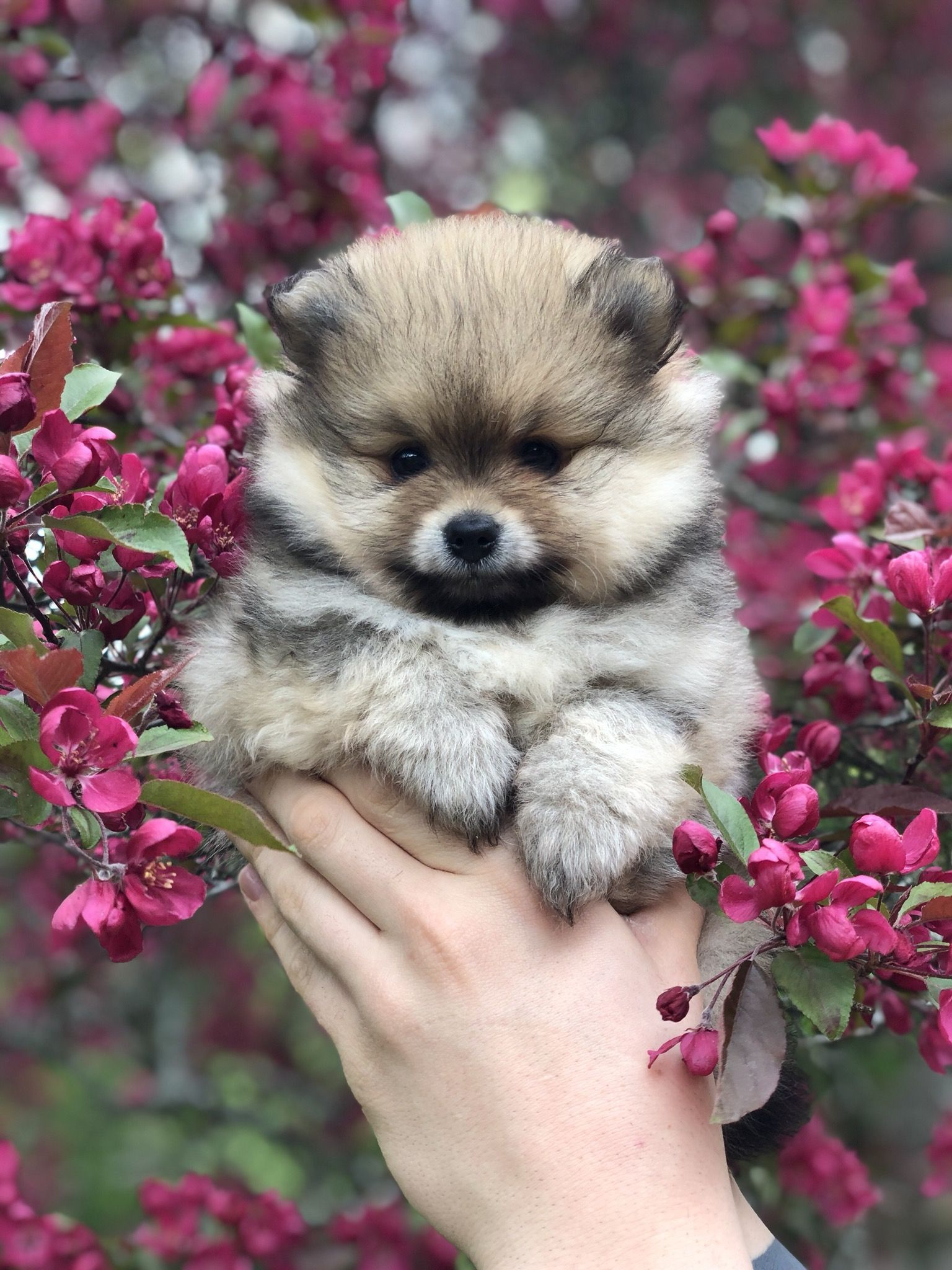 Idea by Rio Hol on Boost Pomeranian puppy for sale