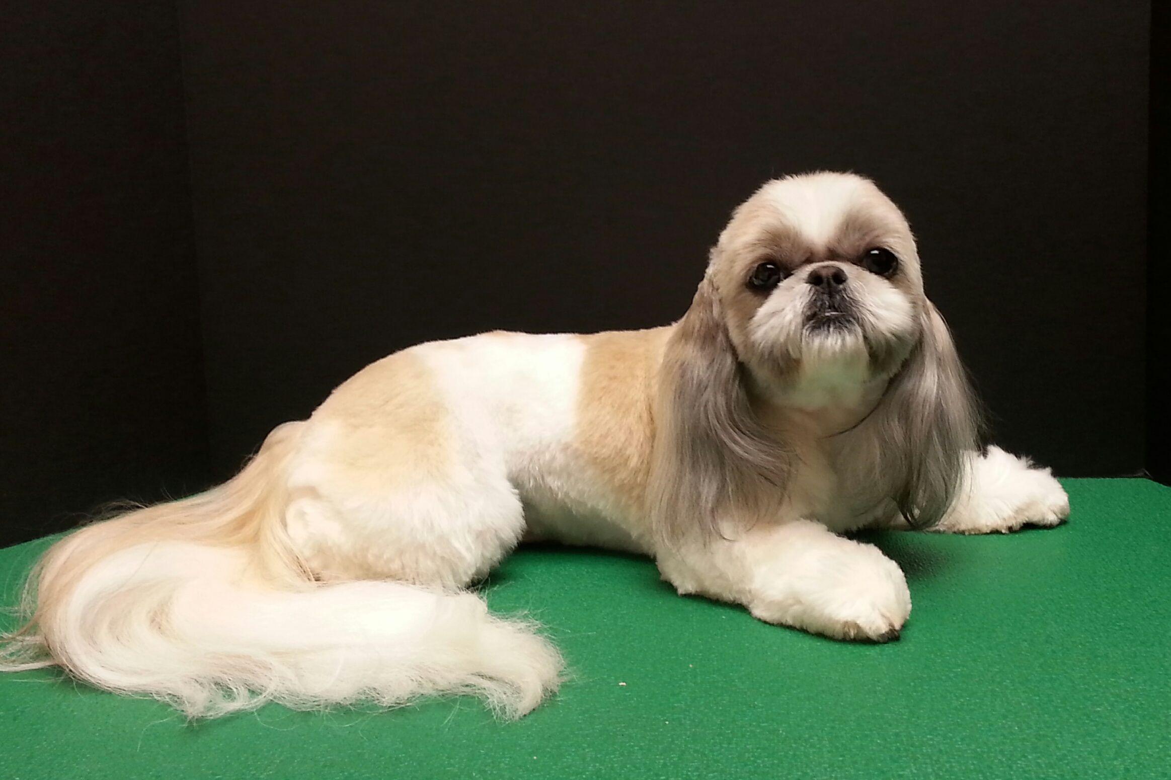Shih Tzu Shih Tzu Haircut Dog Grooming Shih Tzu Pinterest