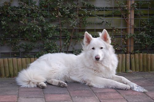 This Is Spock A Two Year Old Swiss Shepherd White German Shepherd White Swiss Shepherd White Dogs