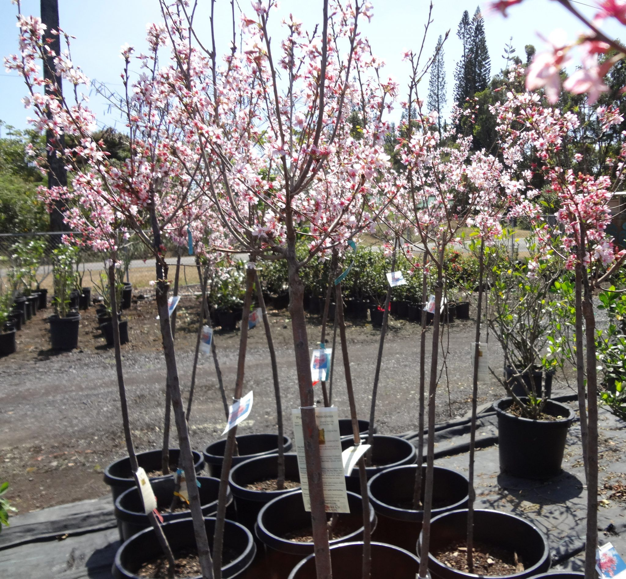 Tips To Grow And Care Ornamental Cherry Trees Interior Decorating Colors Ornamental Cherry Flowering Cherry Tree Japanese Cherry Tree