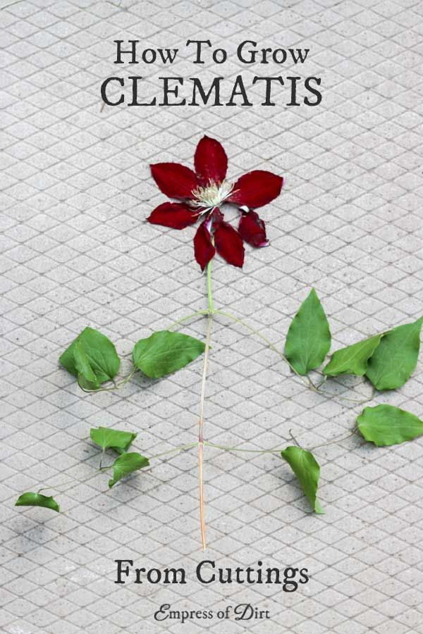 How To Grow Clematis From Cuttings Empress Of Dirt Clematis Clematis Vine Plants