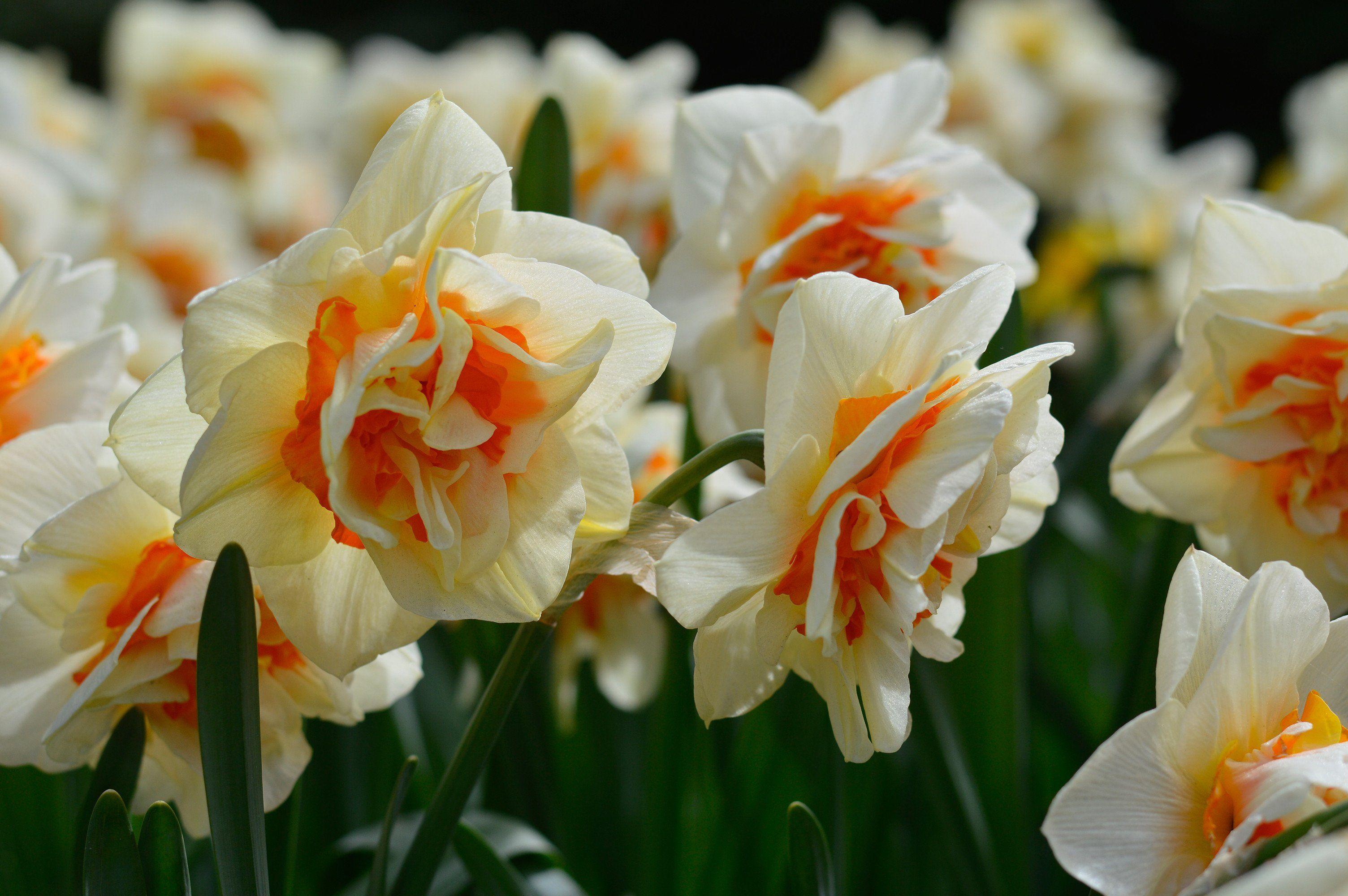 Daffodil Flower Parade Daffodil Flower Daffodils Flowers