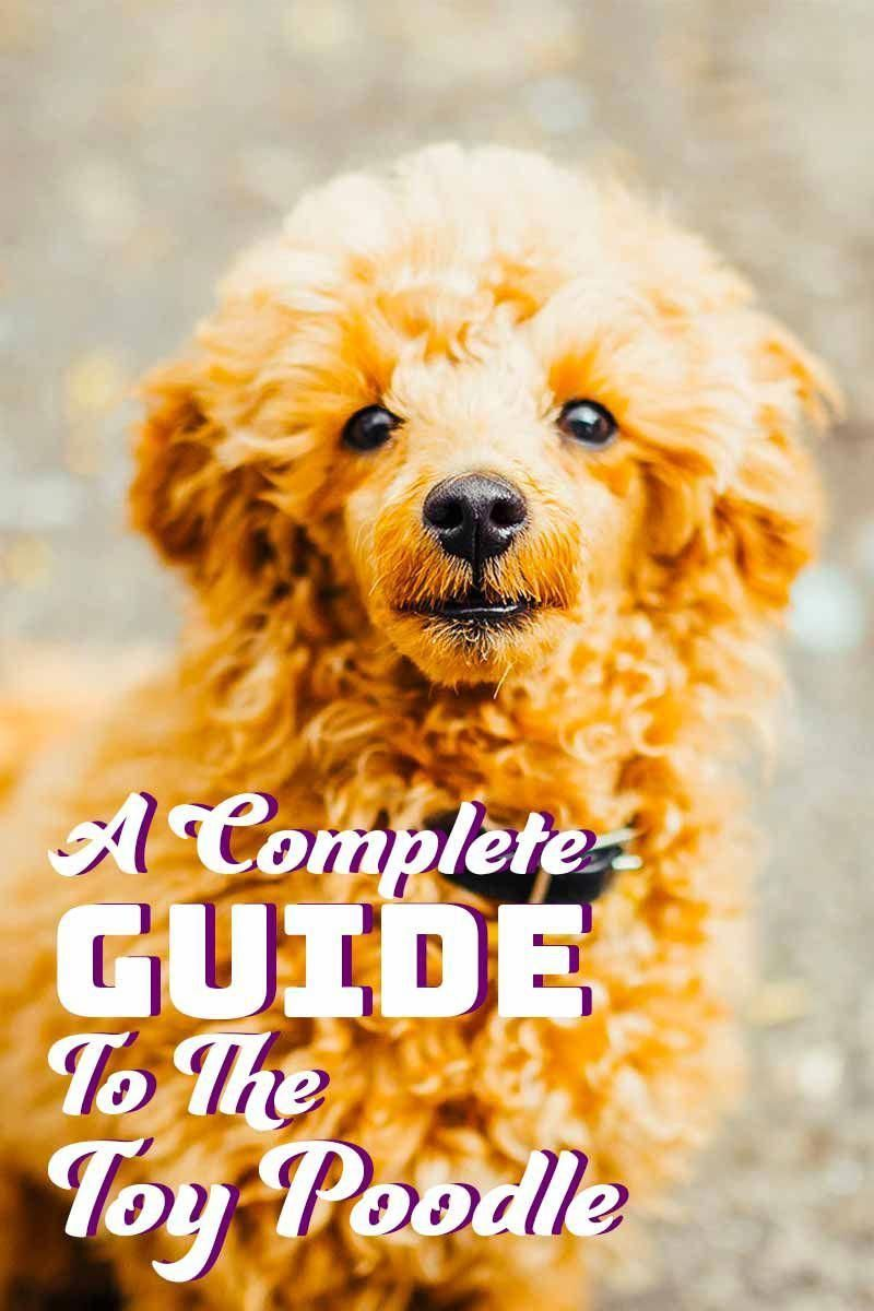 Everything I admire about the Eager Poodle Puppy #poodlehouse #poodleparty #PoodlePup