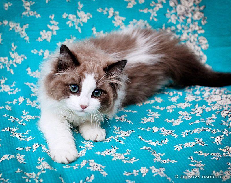 Seal Mink Ragdoll Ragdoll Cat Ragdoll Kitten Pretty Cats
