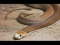 Top 5 Das Cobras Terrestres Mais Venenosas 2 E 3 Youtube