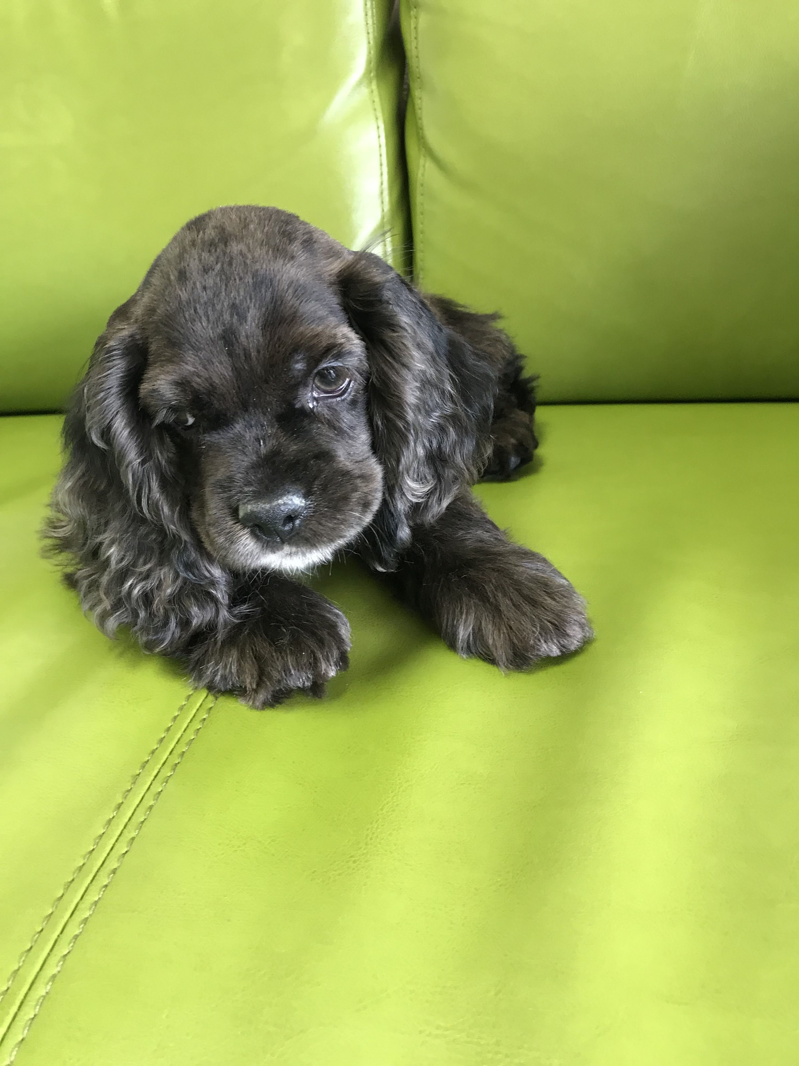 This Is The Cutest Cocker Spaniel I Ve Ever Seen Cocker Spaniel Puppies Spaniel Puppies Cocker Spaniel