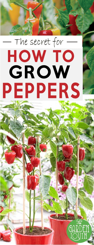 5 SECRETS to Growing Successful Peppers #tomatenzüchten