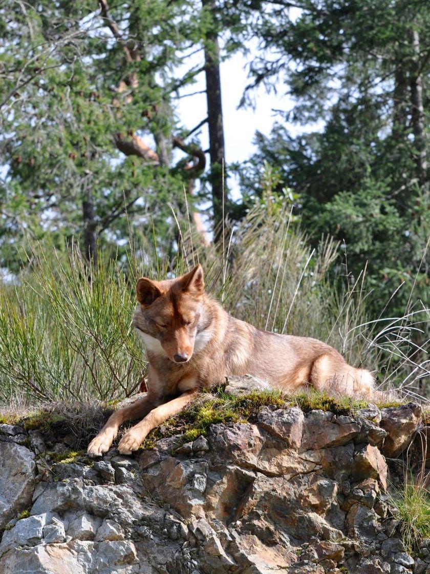 Coydog puppies 2014 unique dog breeds rare dog breeds