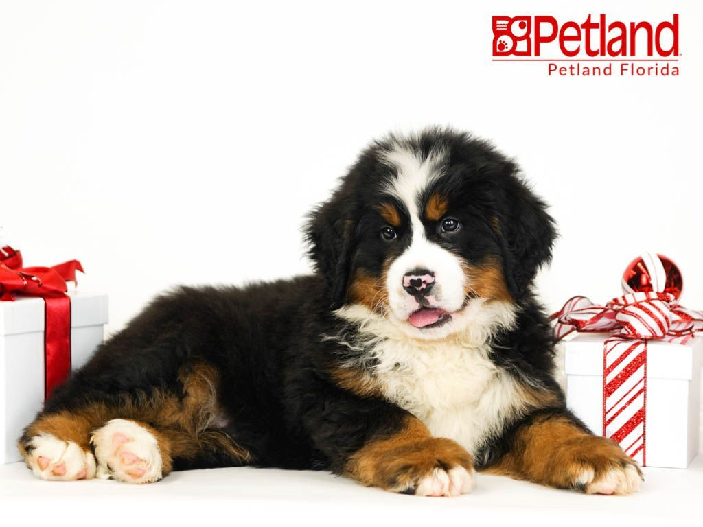 Petland Florida Has Bernese Mountain Dog Puppies For Sale Check Out All Our Available Puppies Bernesemountaindog Petlandlargo P Dog Lovers Mountain Dogs Dogs Puppies