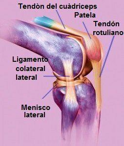 Anatomía Rodilla Cruzada Colaterales Meniscos Huesos Y Tendones Rotuleo Cóndilos Quadricipitale Fémur Tibia Lean Muscle Mass Bodybuilding Muscle Mass