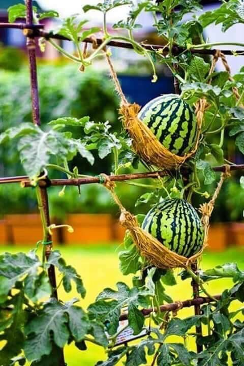 Why Should You Have A Creative Design For Your Diy Vertical Garden Ideas Growing Watermelons