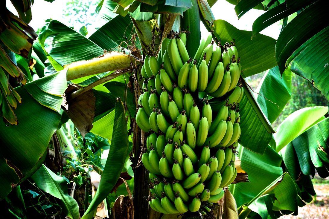 banana tropical pinterest bananas amazon rainforest and