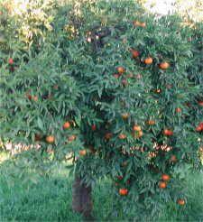 Rboles de hoja perenne arboles arbustos y plantas for Arboles frutales de hoja perenne para jardin