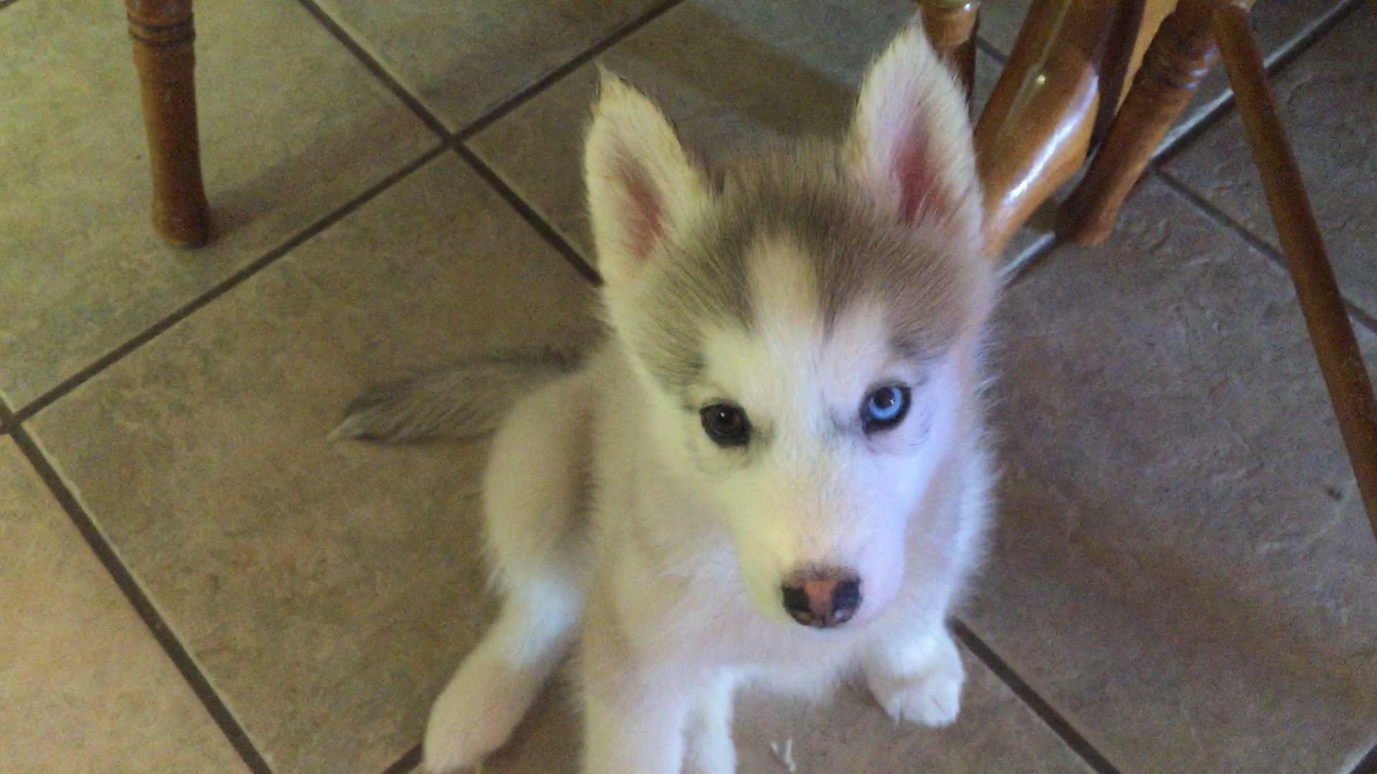 Kiki Means New Beginning New Life Kiki Origin Roots French Spanish German Netherlands And Japanese You Dad Siberian Husky Puppies Husky