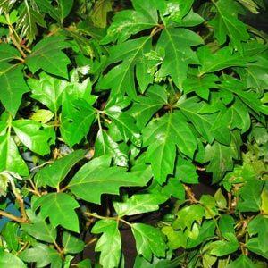 cissus rhombifolia plantas de interior trepadoras via de apartamento