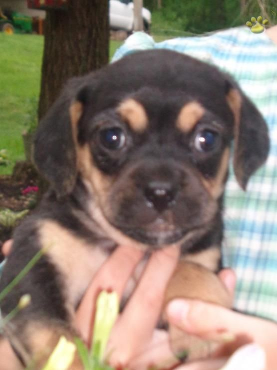 HOLLY - Cavalier Mix Puppy for Sale in Landisburg, PA | Lancaster